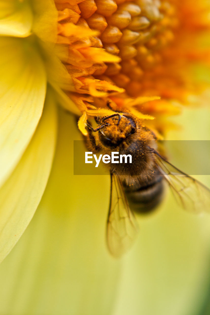 animal themes, flower, invertebrate, insect, flowering plant, animal, one animal, animal wildlife, bee, animals in the wild, flower head, close-up, beauty in nature, plant, fragility, petal, vulnerability, pollination, yellow, inflorescence, no people, pollen, outdoors, animal wing