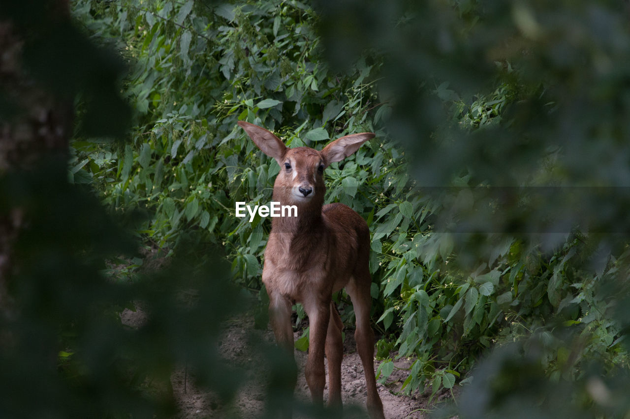 PORTRAIT OF DEER STANDING ON PLANT