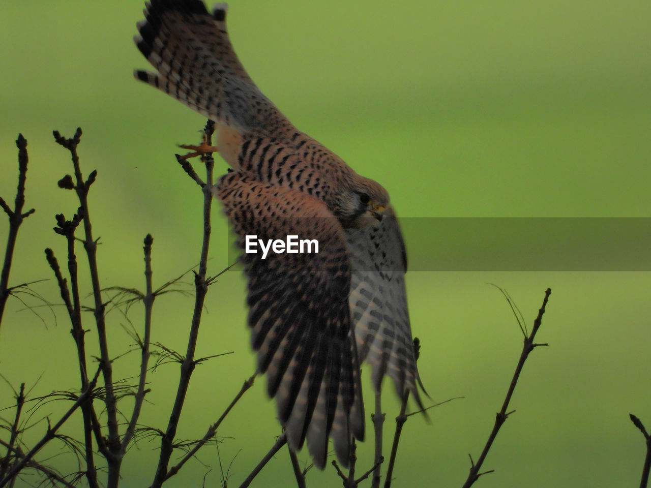 animal themes, vertebrate, animal, animals in the wild, animal wildlife, bird, one animal, nature, plant, no people, perching, day, tree, outdoors, focus on foreground, branch, spread wings, low angle view, close-up, bird of prey, falcon - bird