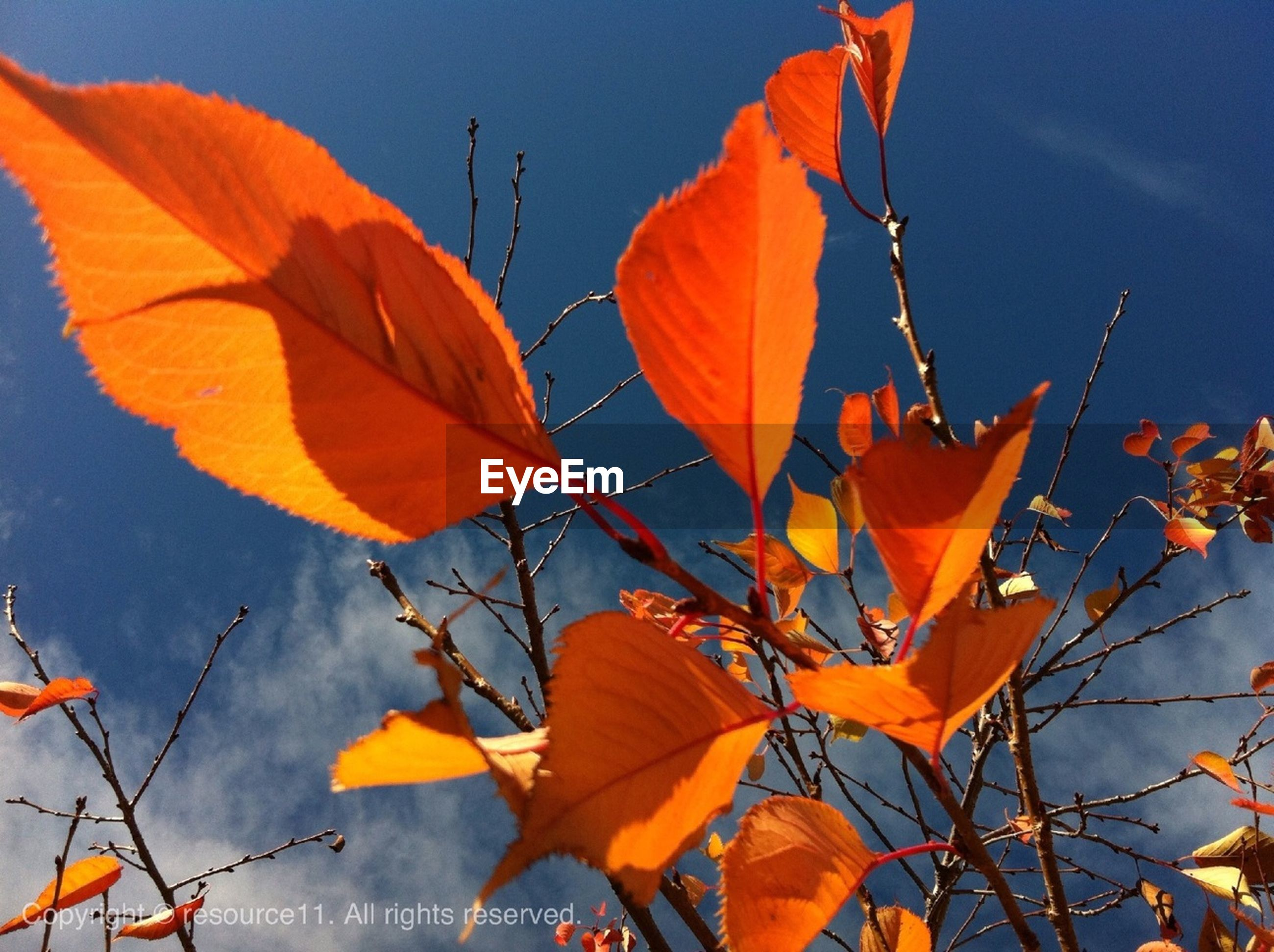 leaf, autumn, change, orange color, low angle view, season, leaves, nature, beauty in nature, branch, growth, sky, close-up, maple leaf, blue, red, leaf vein, focus on foreground, fragility, day