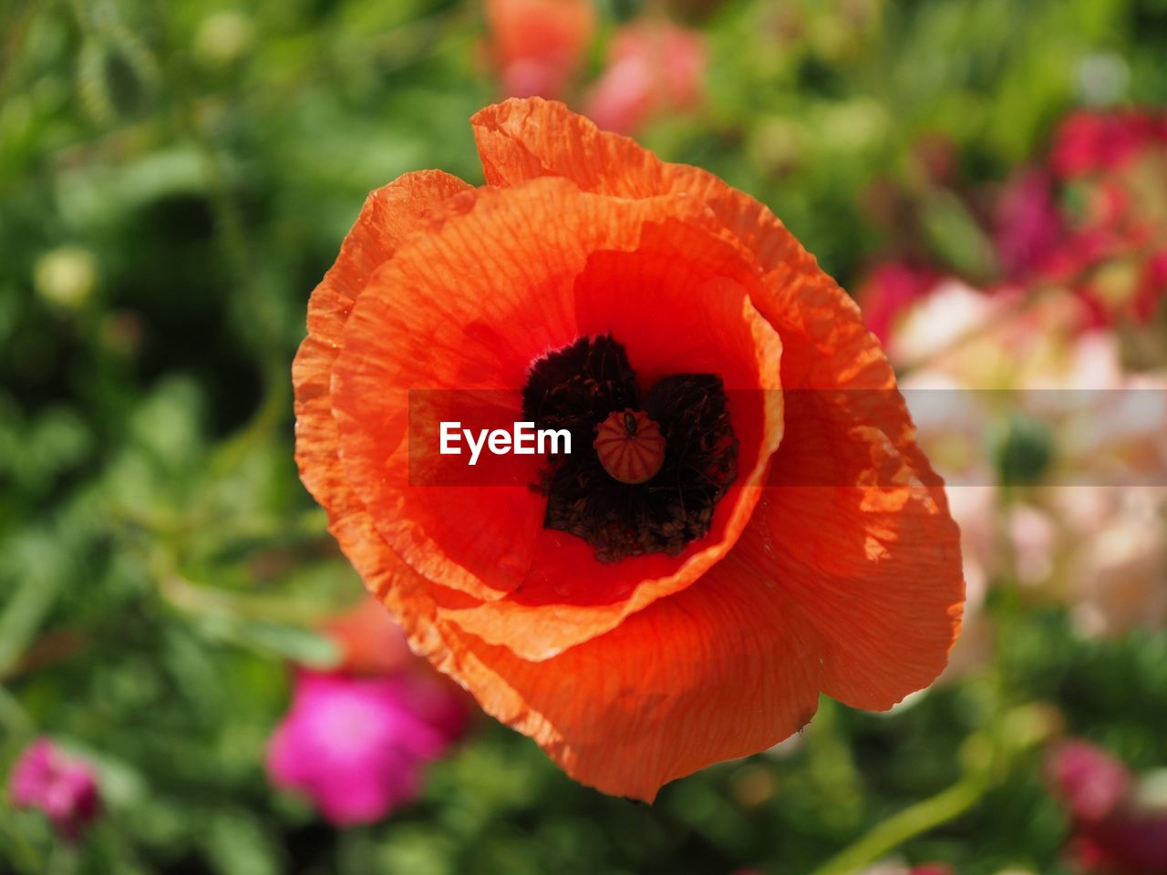 Close-Up Of Orange Poppy