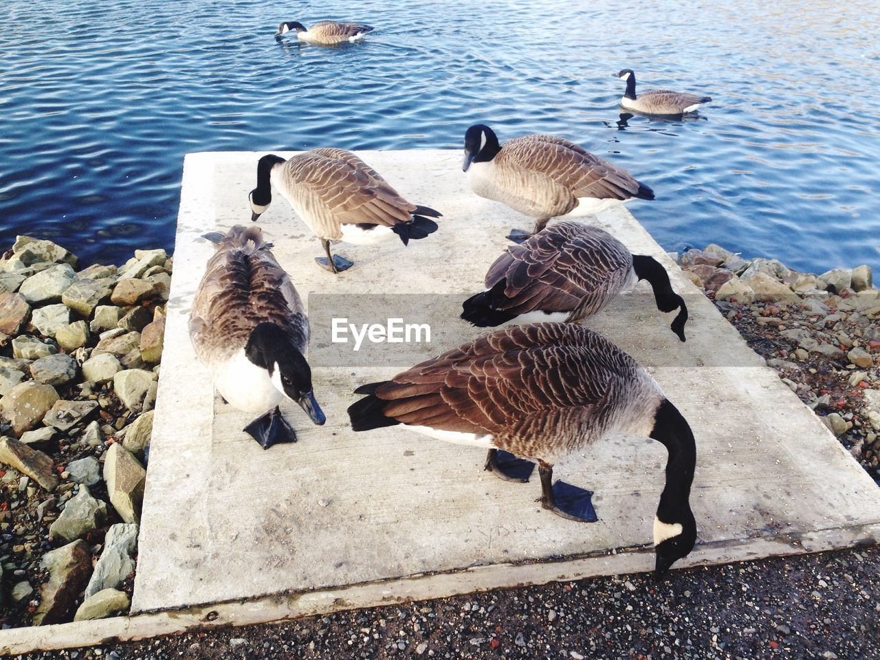 High angle view of canada geese on lakeshore