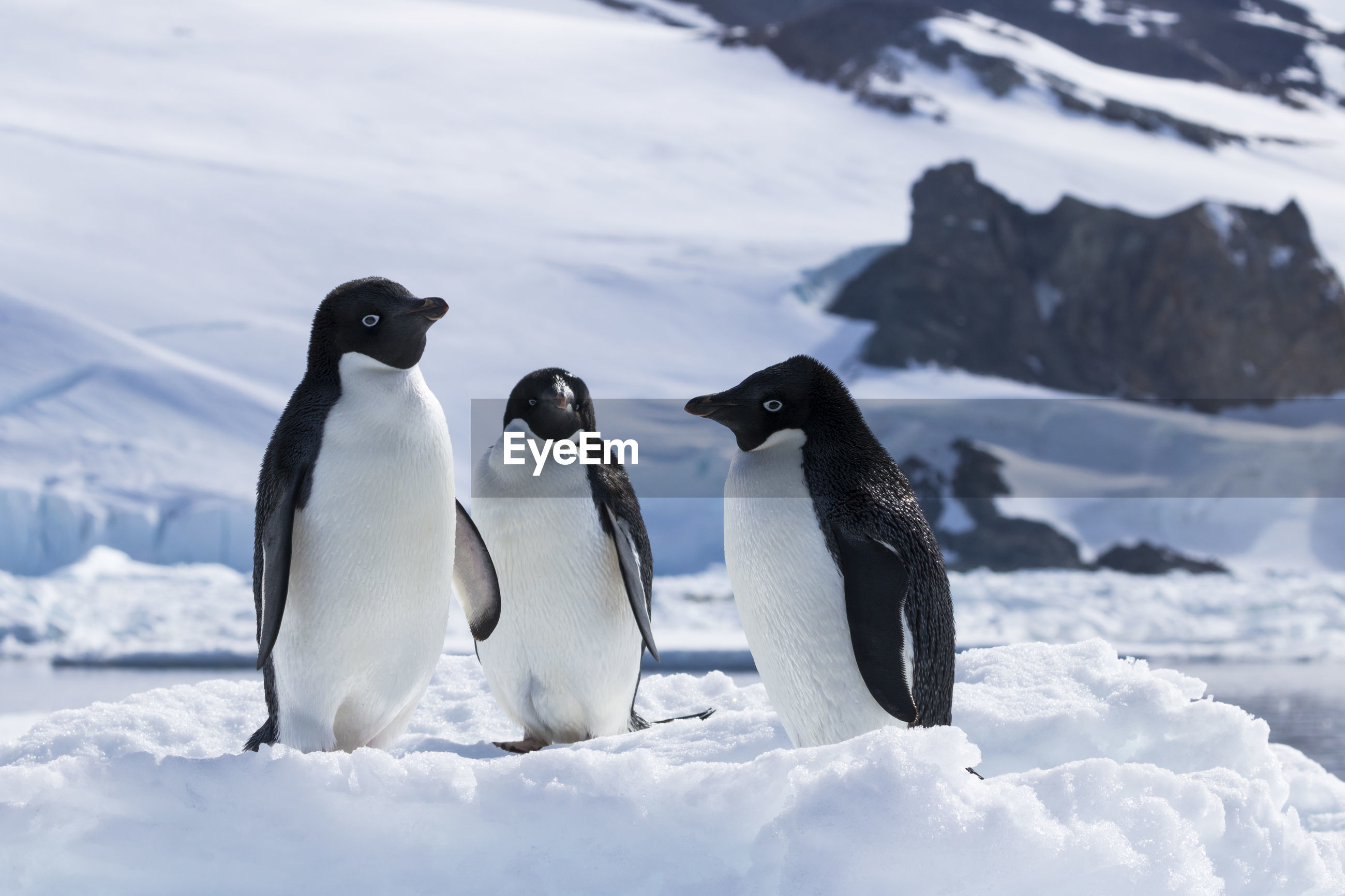 HIGH ANGLE VIEW OF PENGUINS ON SNOW