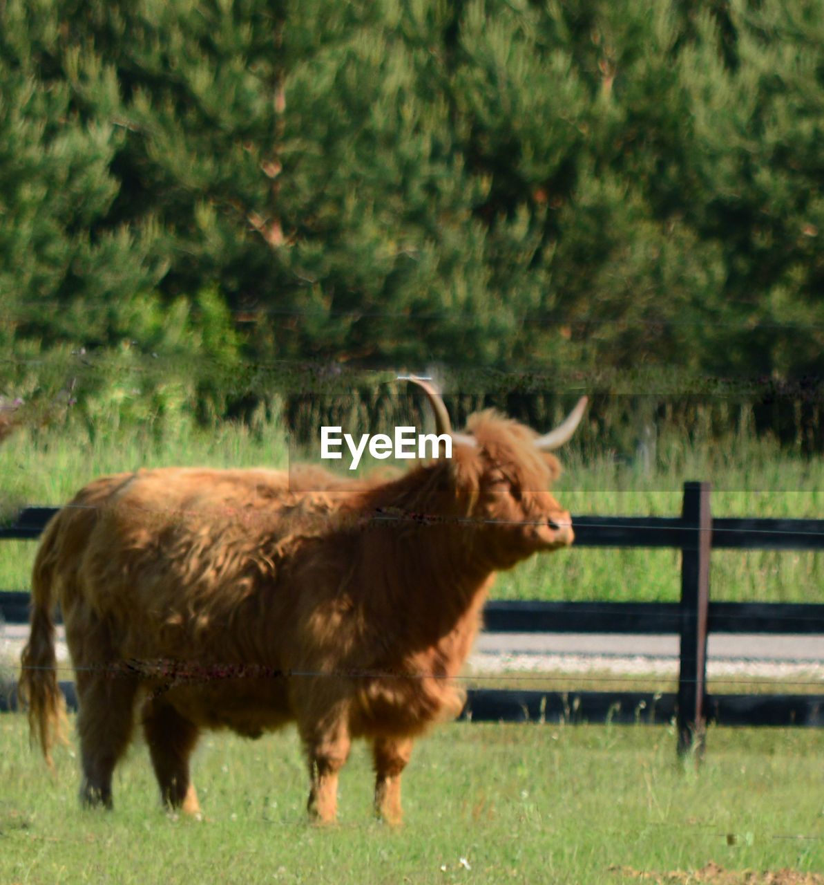 animal themes, grass, field, mammal, livestock, domestic animals, nature, cow, no people, one animal, outdoors, day, grazing, highland cattle, tree