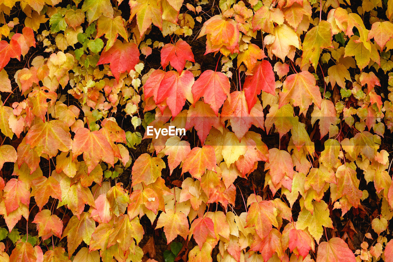 plant part, leaf, autumn, plant, nature, change, beauty in nature, full frame, no people, fragility, vulnerability, yellow, close-up, abundance, growth, backgrounds, leaves, day, high angle view, orange color, outdoors, maple leaf, natural condition, fall