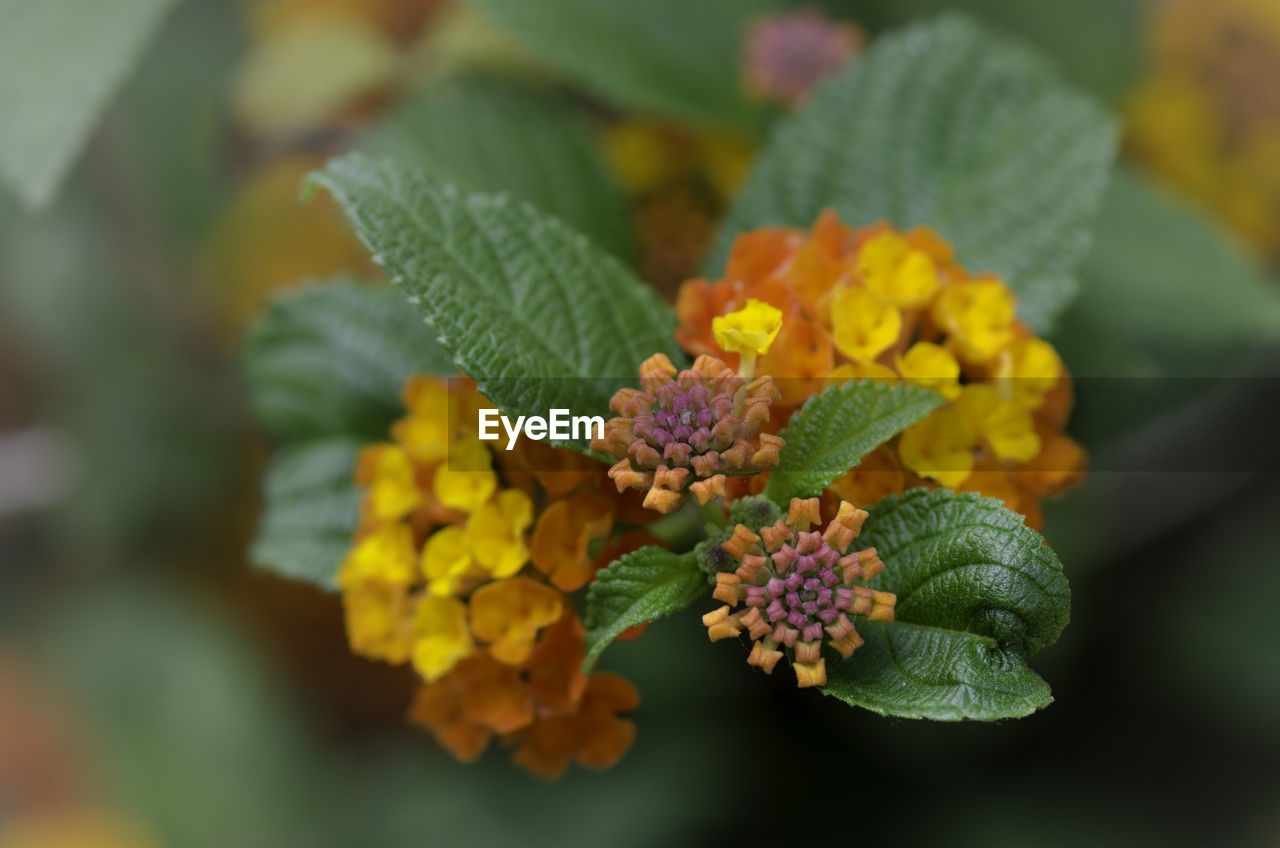 green color, flower, growth, beauty in nature, freshness, nature, fragility, leaf, plant, no people, day, yellow, lantana camara, close-up, flower head, multi colored, outdoors