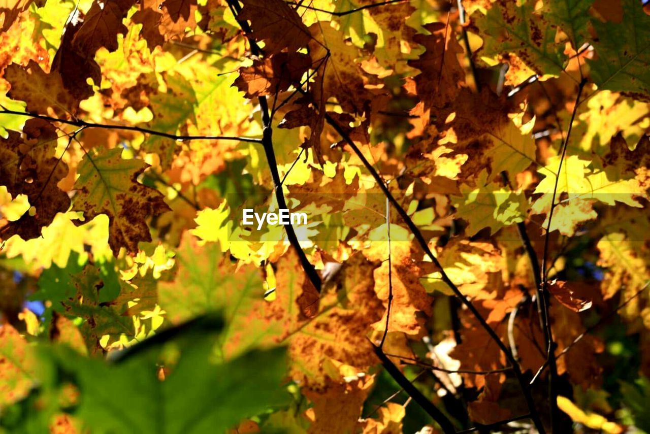 leaf, nature, autumn, growth, outdoors, beauty in nature, day, no people, sunlight, tree, branch, fragility, maple leaf, close-up, freshness, maple