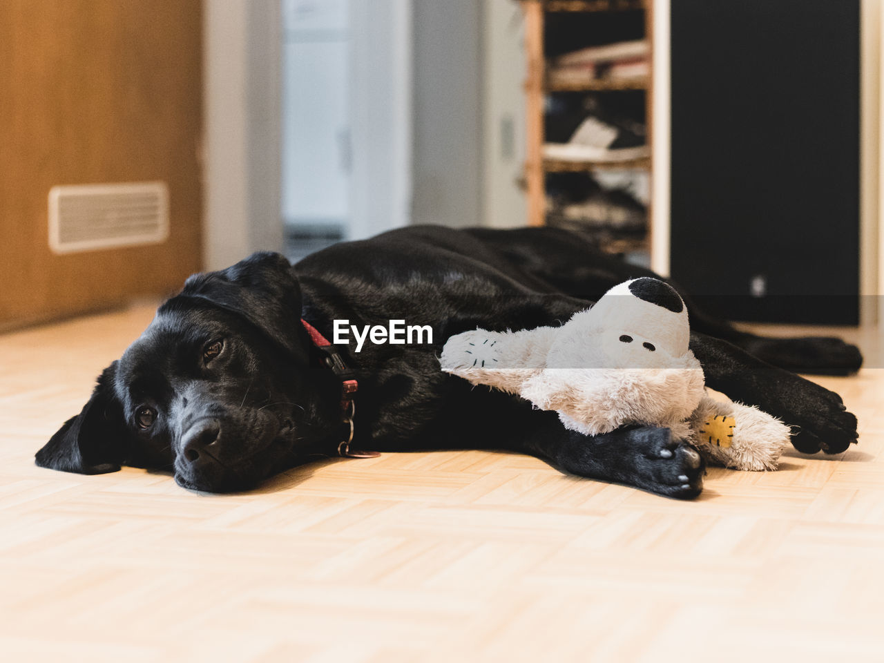 Dog lying down on floor at home