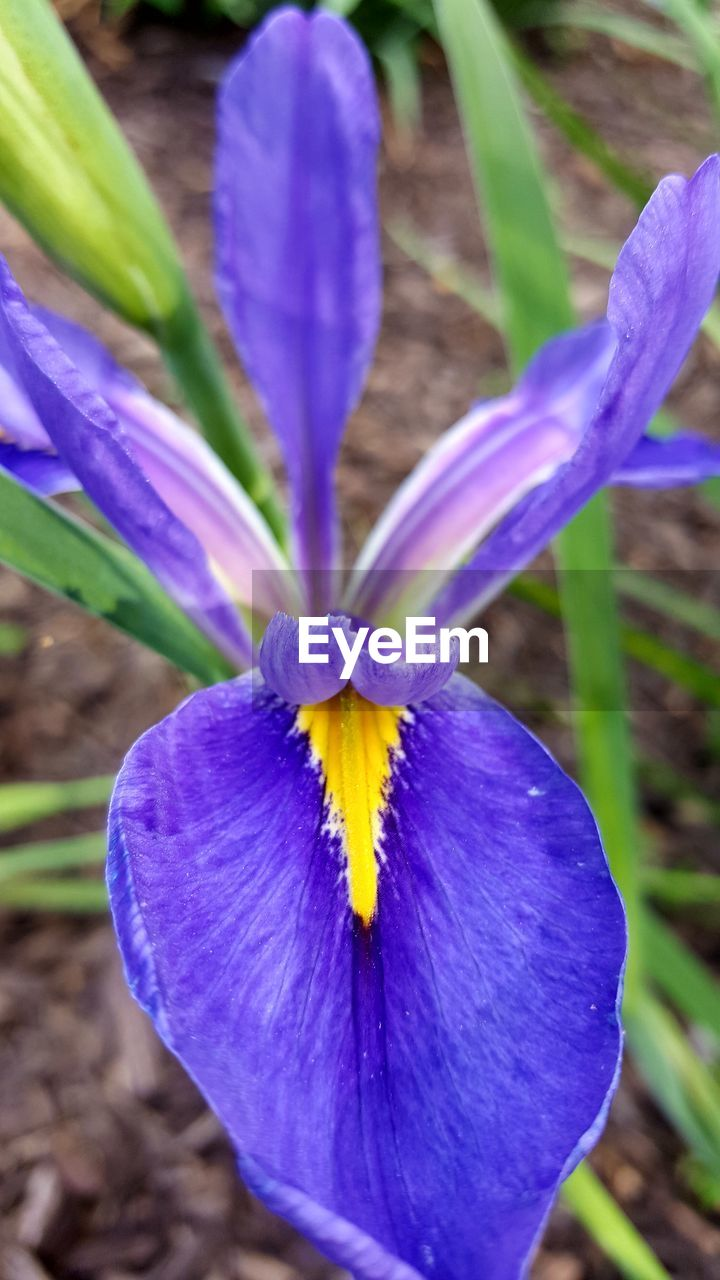 flower, petal, fragility, beauty in nature, flower head, nature, freshness, growth, purple, plant, day, close-up, blooming, outdoors, blue, no people, iris - plant, crocus