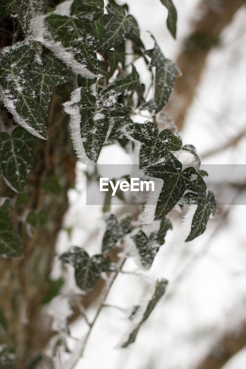 winter, snow, cold temperature, close-up, plant, tree, selective focus, leaf, nature, no people, plant part, day, beauty in nature, green color, growth, white color, frozen, branch, tranquility, outdoors, coniferous tree, pine tree, lichen, fir tree, leaves