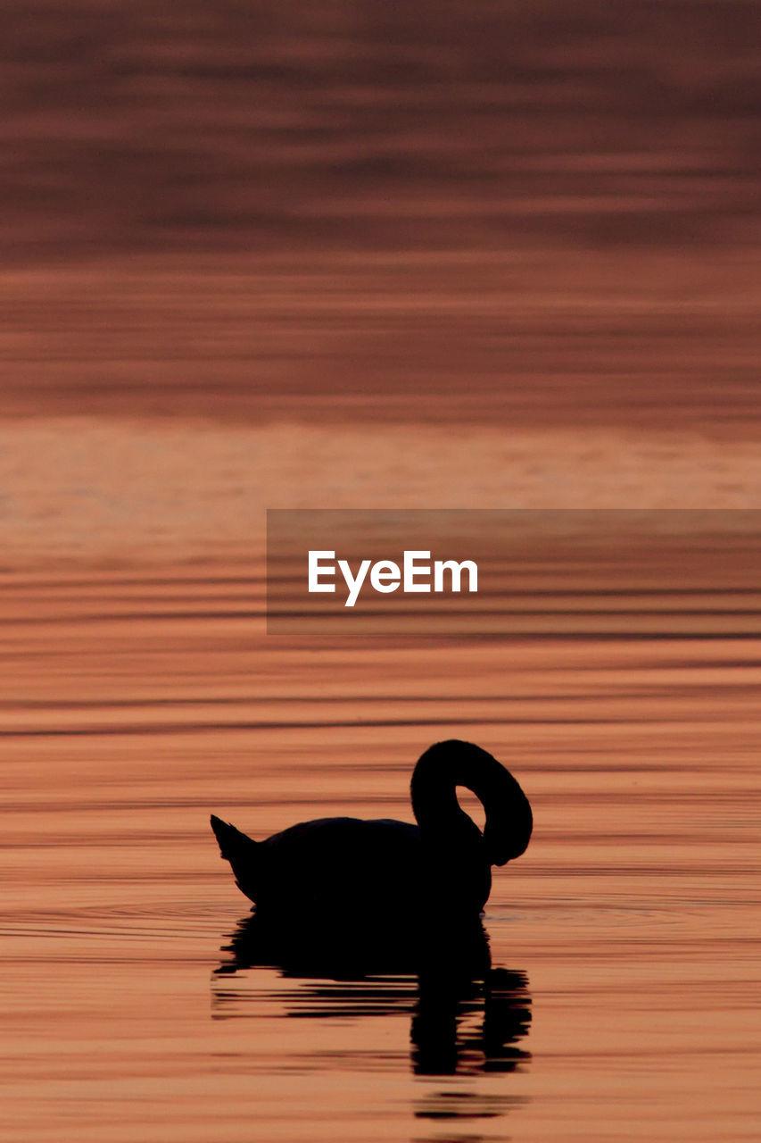 Silhouette Swan Swimming In Lake During Sunset