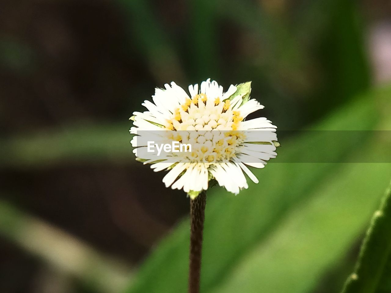 flower, fragility, petal, nature, beauty in nature, flower head, growth, freshness, white color, close-up, plant, yellow, focus on foreground, day, no people, outdoors, blooming, animal themes