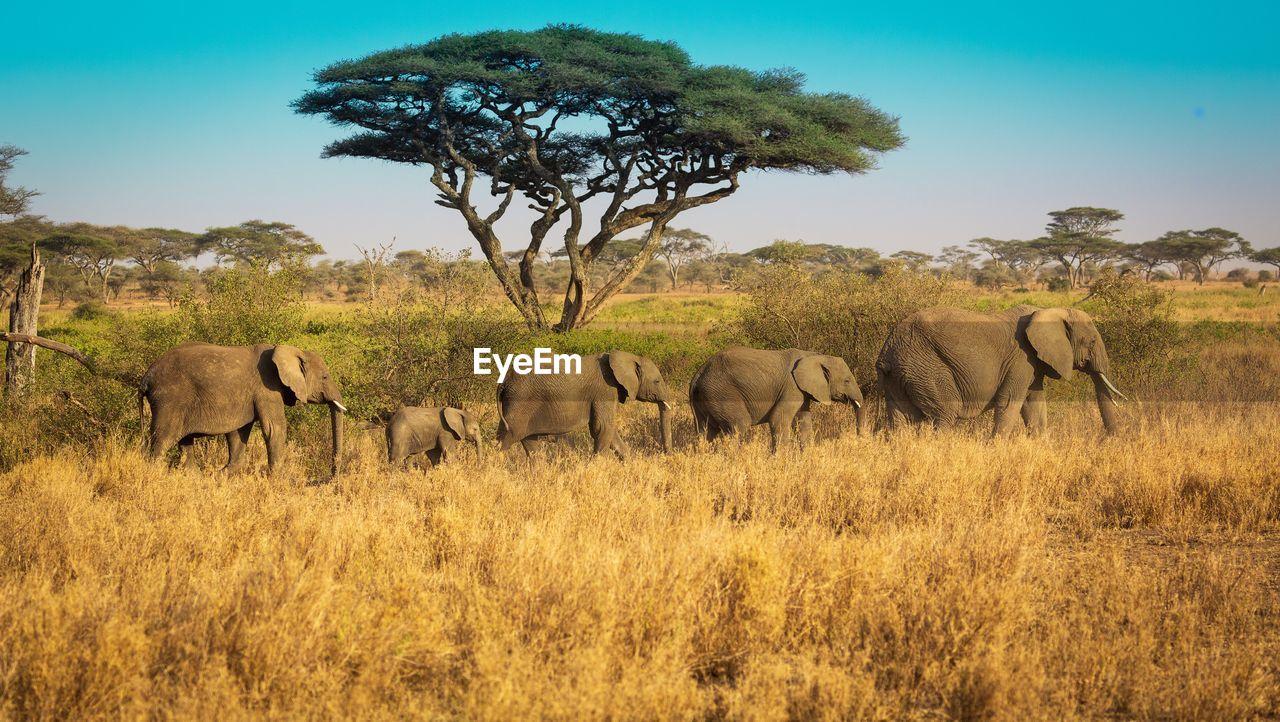animal themes, plant, animal wildlife, animal, mammal, animals in the wild, group of animals, elephant, tree, sky, vertebrate, landscape, nature, no people, land, safari, walking, environment, day, animal family, outdoors, herbivorous, african elephant, animal trunk