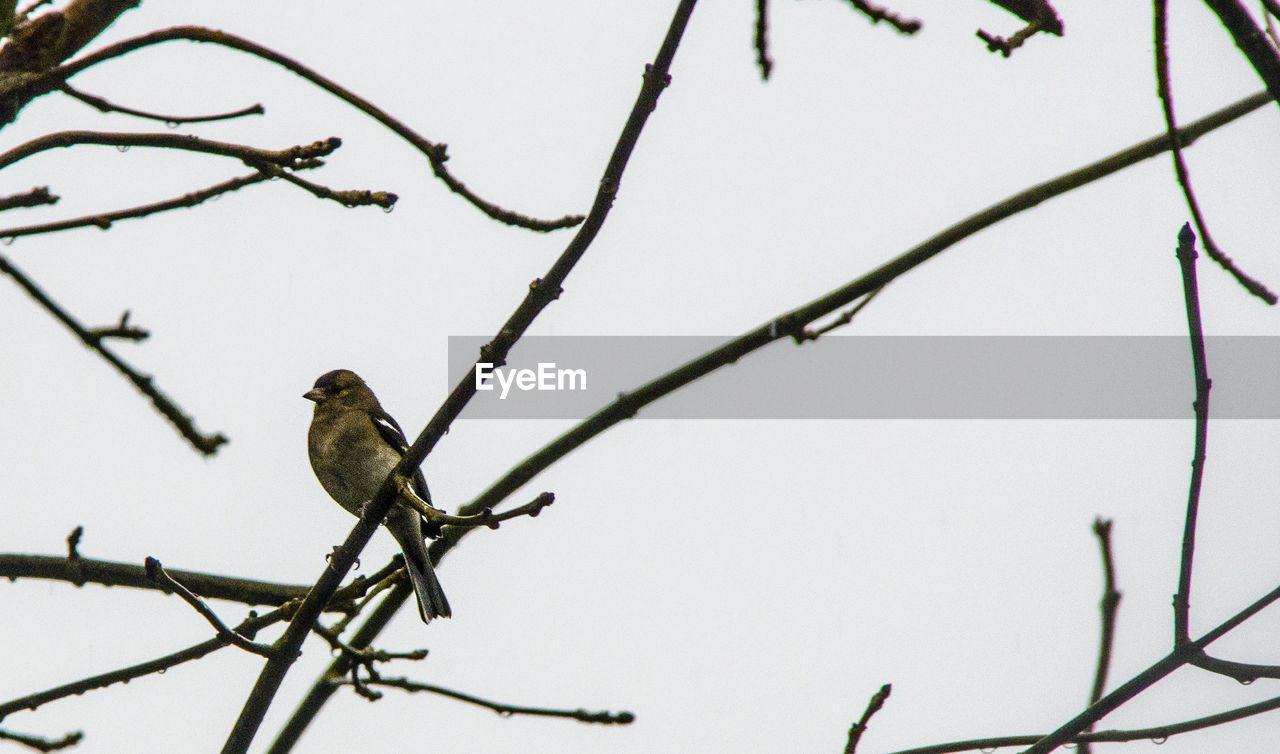 CLOSE-UP OF BIRD PERCHING ON BRANCH AGAINST CLEAR SKY