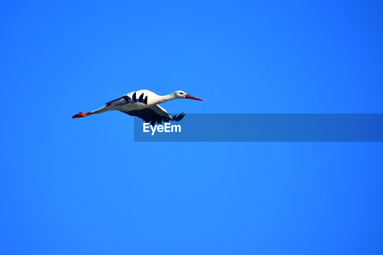 blue, copy space, sky, mid-air, clear sky, flying, low angle view, spread wings, vertebrate, bird, animals in the wild, animal wildlife, one animal, animal themes, motion, day, animal, nature, full length, outdoors, seagull