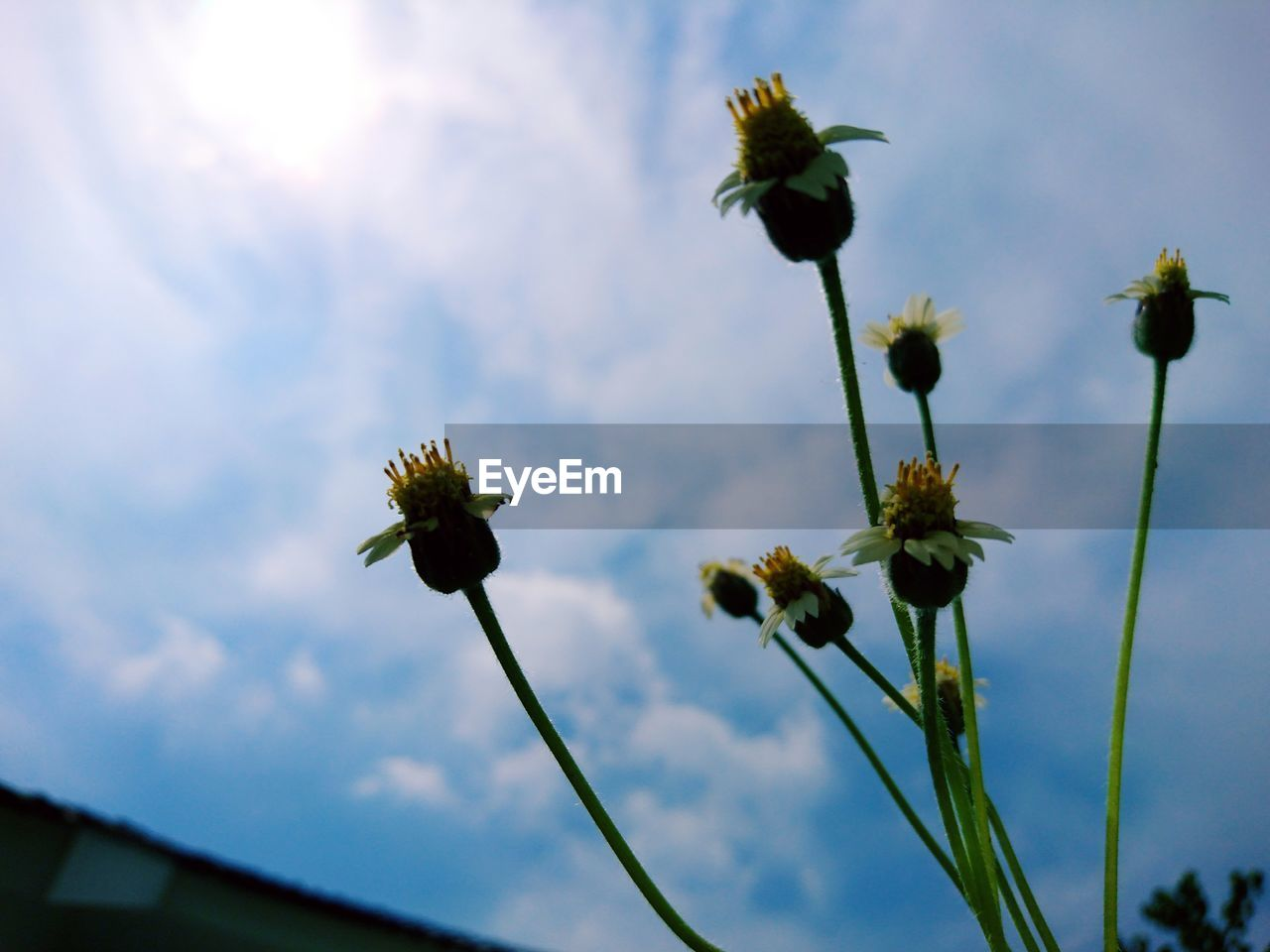 plant, flower, flowering plant, growth, beauty in nature, freshness, sky, fragility, vulnerability, close-up, nature, focus on foreground, flower head, no people, inflorescence, plant stem, cloud - sky, low angle view, petal, day, outdoors, sepal
