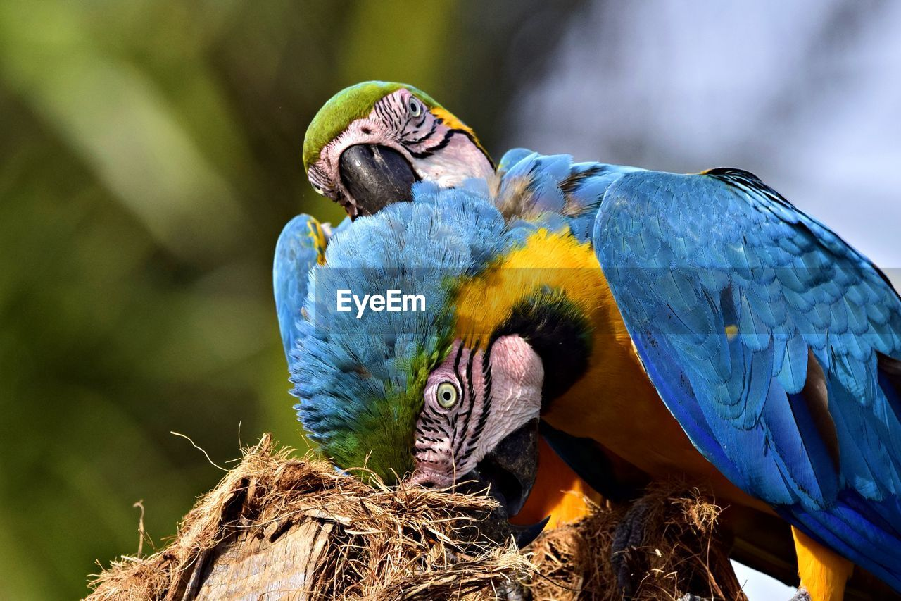 vertebrate, bird, group of animals, animal wildlife, animal, animals in the wild, animal themes, two animals, parrot, focus on foreground, no people, day, nature, close-up, perching, togetherness, macaw, blue, outdoors, beak, animal family