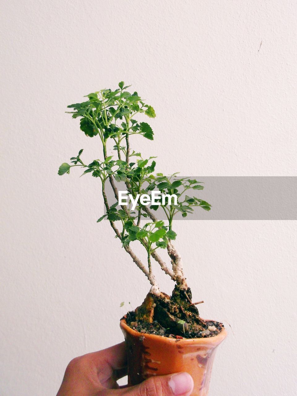 human hand, hand, human body part, plant, wall - building feature, potted plant, holding, growth, plant part, one person, leaf, real people, nature, indoors, green color, freshness, close-up, body part, unrecognizable person, finger, flower pot, small, gardening
