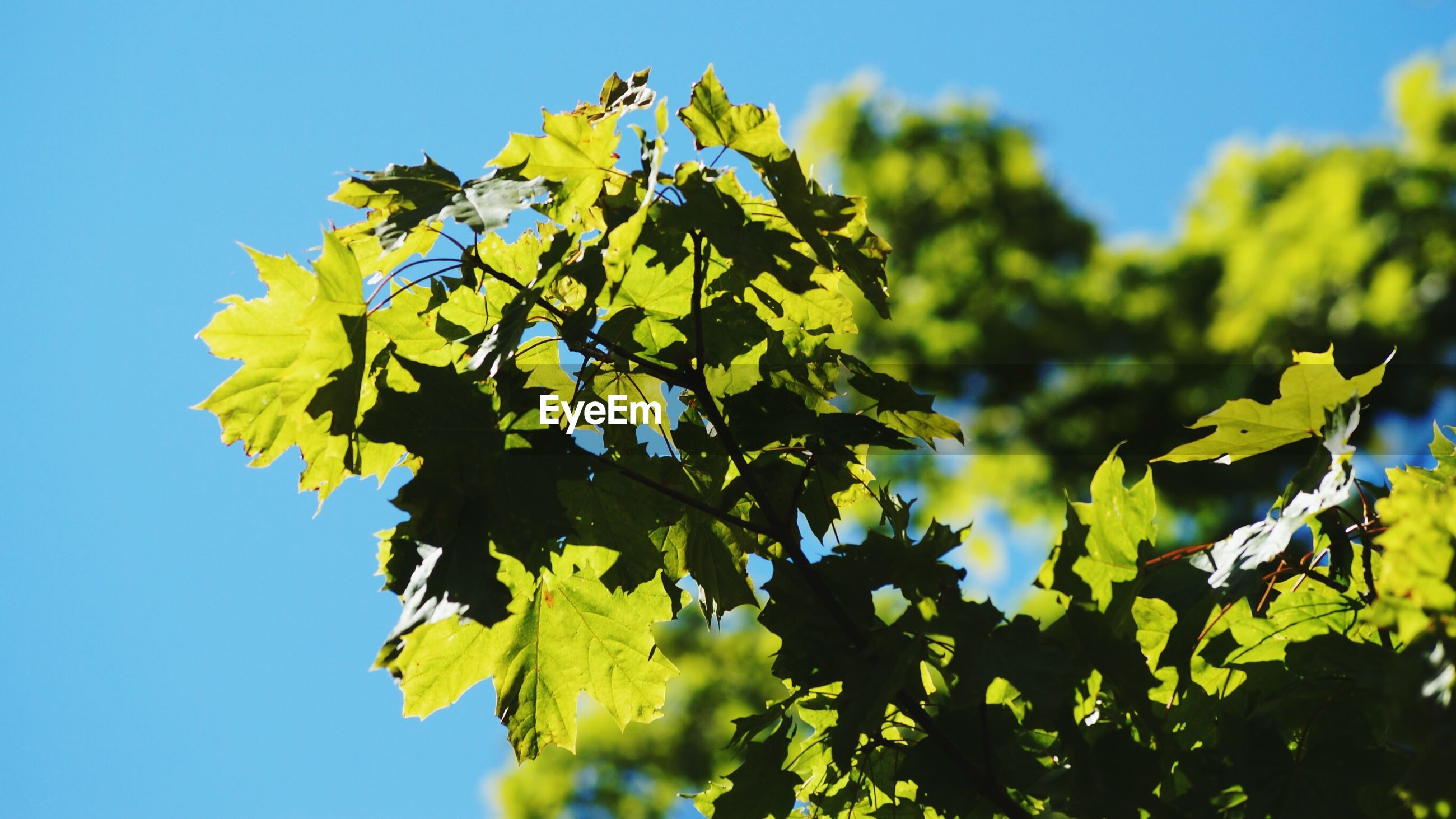 Low angle view of maple tree against clear sky