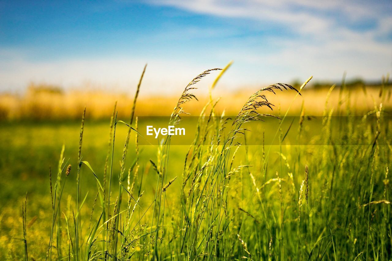 growth, nature, field, grass, tranquility, beauty in nature, crop, agriculture, cereal plant, farm, ear of wheat, tranquil scene, wheat, no people, outdoors, scenics, day, plant, green color, rural scene, close-up, sky, focus on foreground, landscape, freshness
