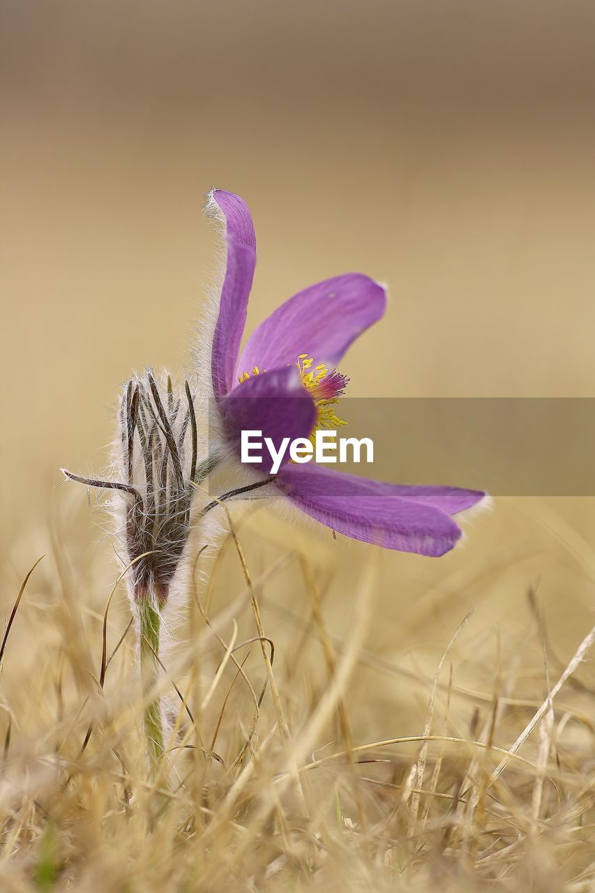 plant, flower, flowering plant, beauty in nature, fragility, freshness, vulnerability, close-up, growth, nature, petal, flower head, purple, selective focus, no people, inflorescence, field, land, day, one animal, outdoors, springtime, iris, crocus, pollen