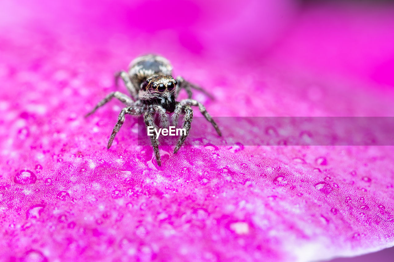 invertebrate, one animal, insect, pink color, animal, animal themes, animal wildlife, close-up, animals in the wild, arachnid, selective focus, arthropod, spider, no people, flower, zoology, beauty in nature, day, nature, flowering plant, flower head, purple