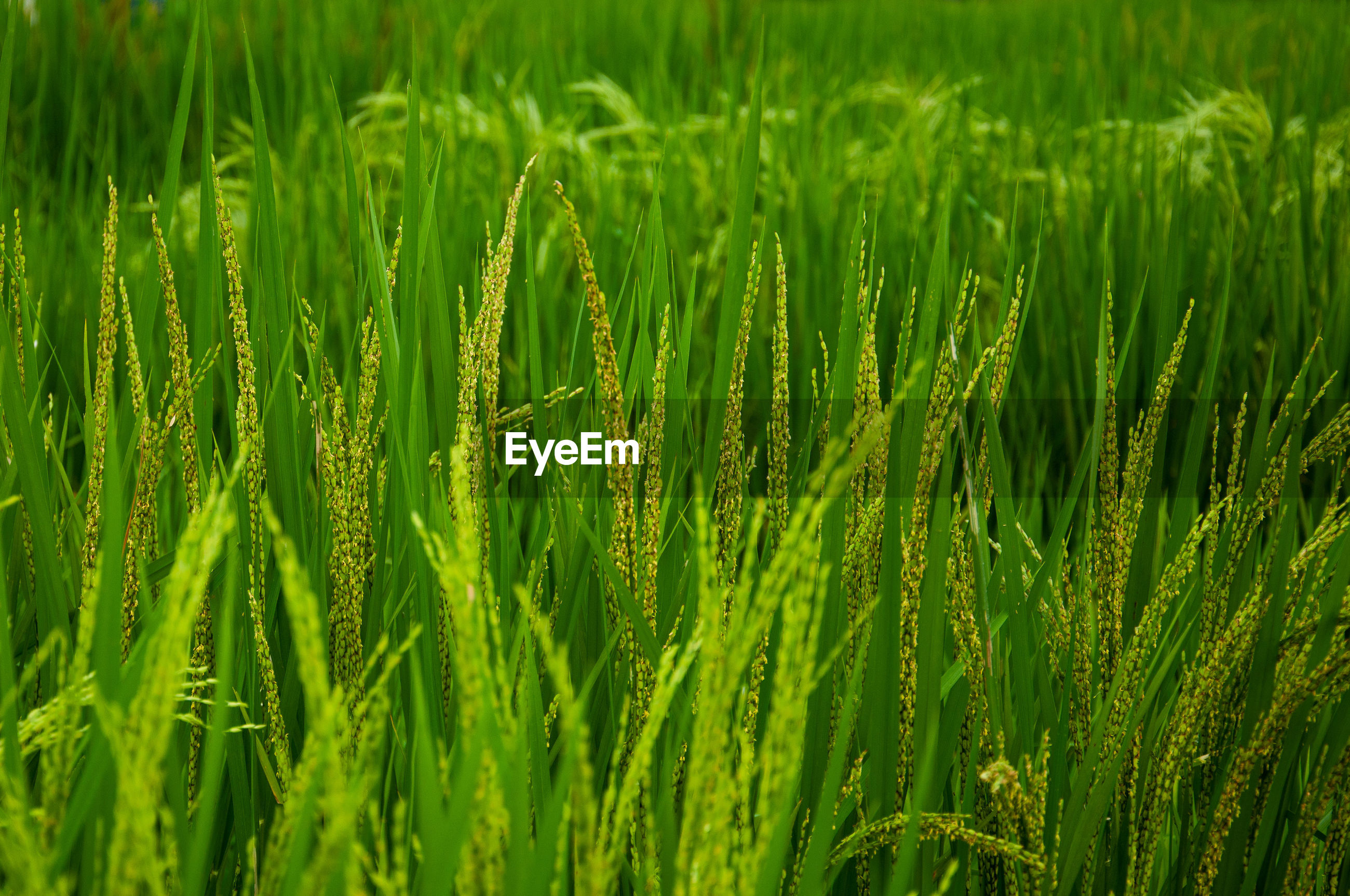 FULL FRAME SHOT OF RICE FIELD