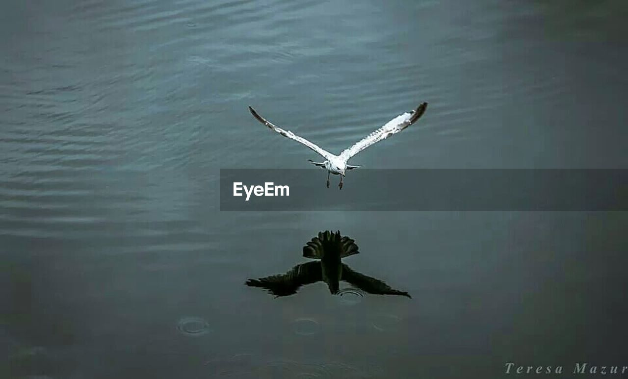 flying, water, spread wings, animals in the wild, animal themes, one animal, nature, waterfront, bird, no people, mid-air, day, lake, animal wildlife, outdoors, beauty in nature
