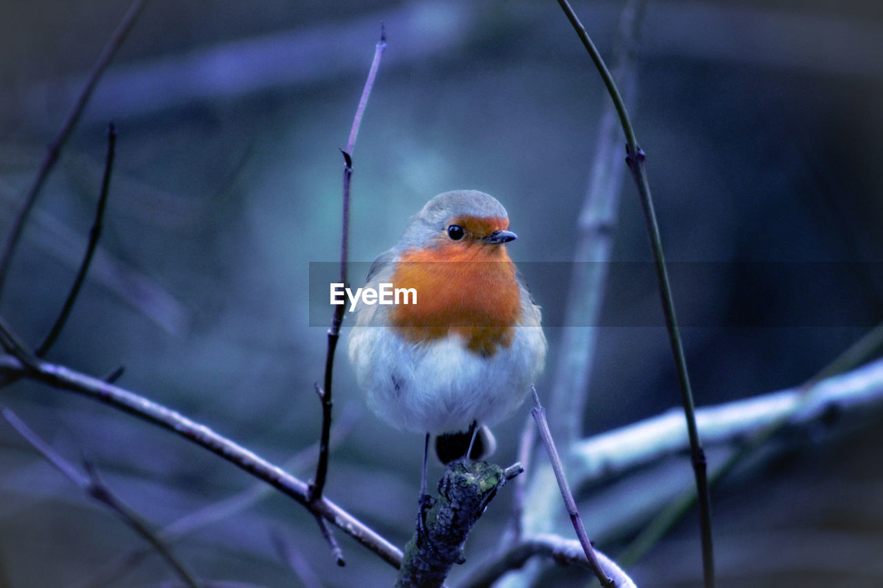 bird, animal themes, perching, vertebrate, one animal, animal, animal wildlife, focus on foreground, robin, animals in the wild, close-up, no people, branch, twig, day, selective focus, nature, outdoors, tree, orange color