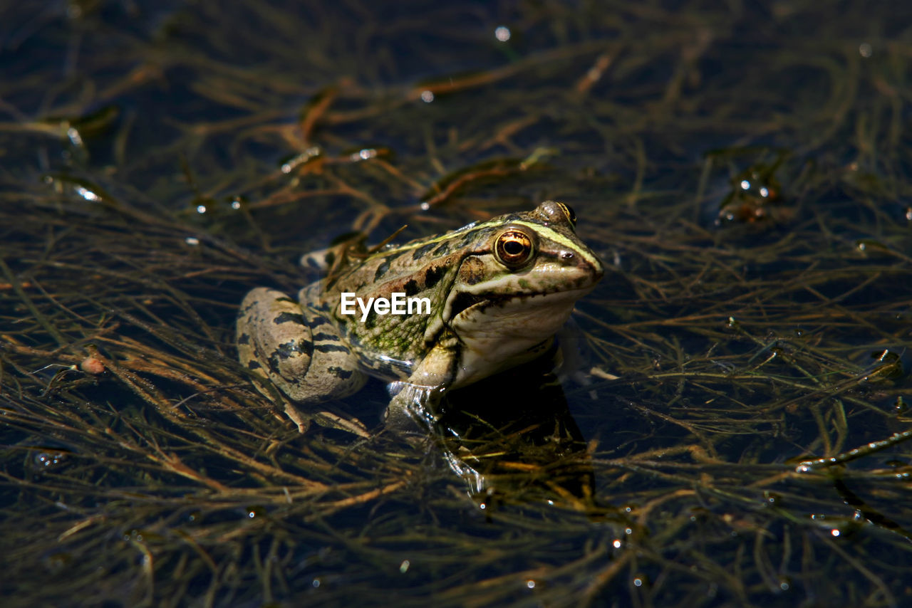 animal, animal themes, animal wildlife, one animal, animals in the wild, vertebrate, reptile, no people, nature, amphibian, close-up, day, animal body part, frog, land, animal head, outdoors, plant, selective focus, high angle view, animal eye