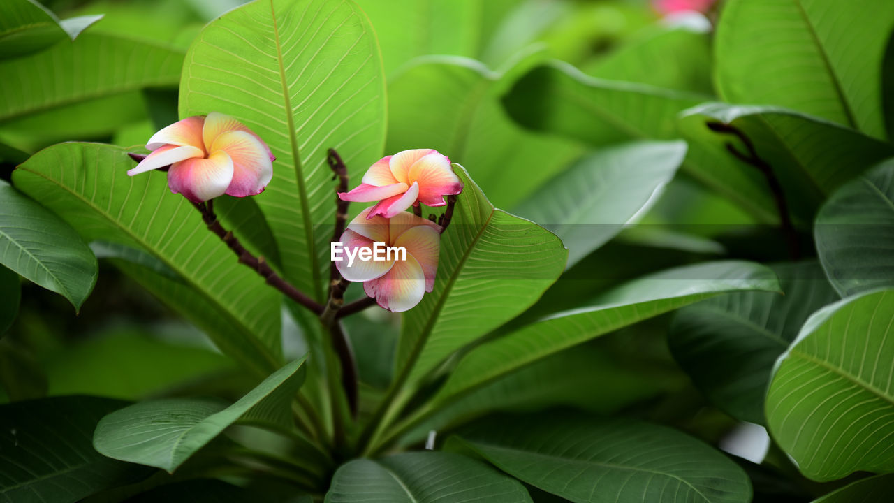 plant, plant part, leaf, growth, beauty in nature, green color, flowering plant, freshness, vulnerability, flower, close-up, petal, fragility, flower head, pink color, inflorescence, no people, nature, day, focus on foreground, leaves