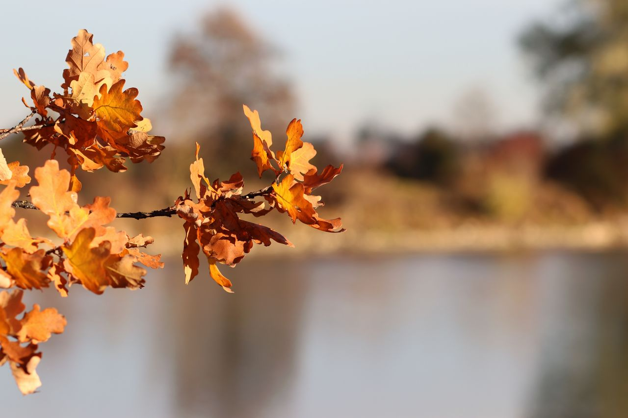 beauty in nature, plant, focus on foreground, close-up, nature, autumn, change, orange color, growth, day, plant part, tranquility, leaf, no people, vulnerability, sky, outdoors, fragility, tree, selective focus, leaves, flower head, autumn collection, natural condition
