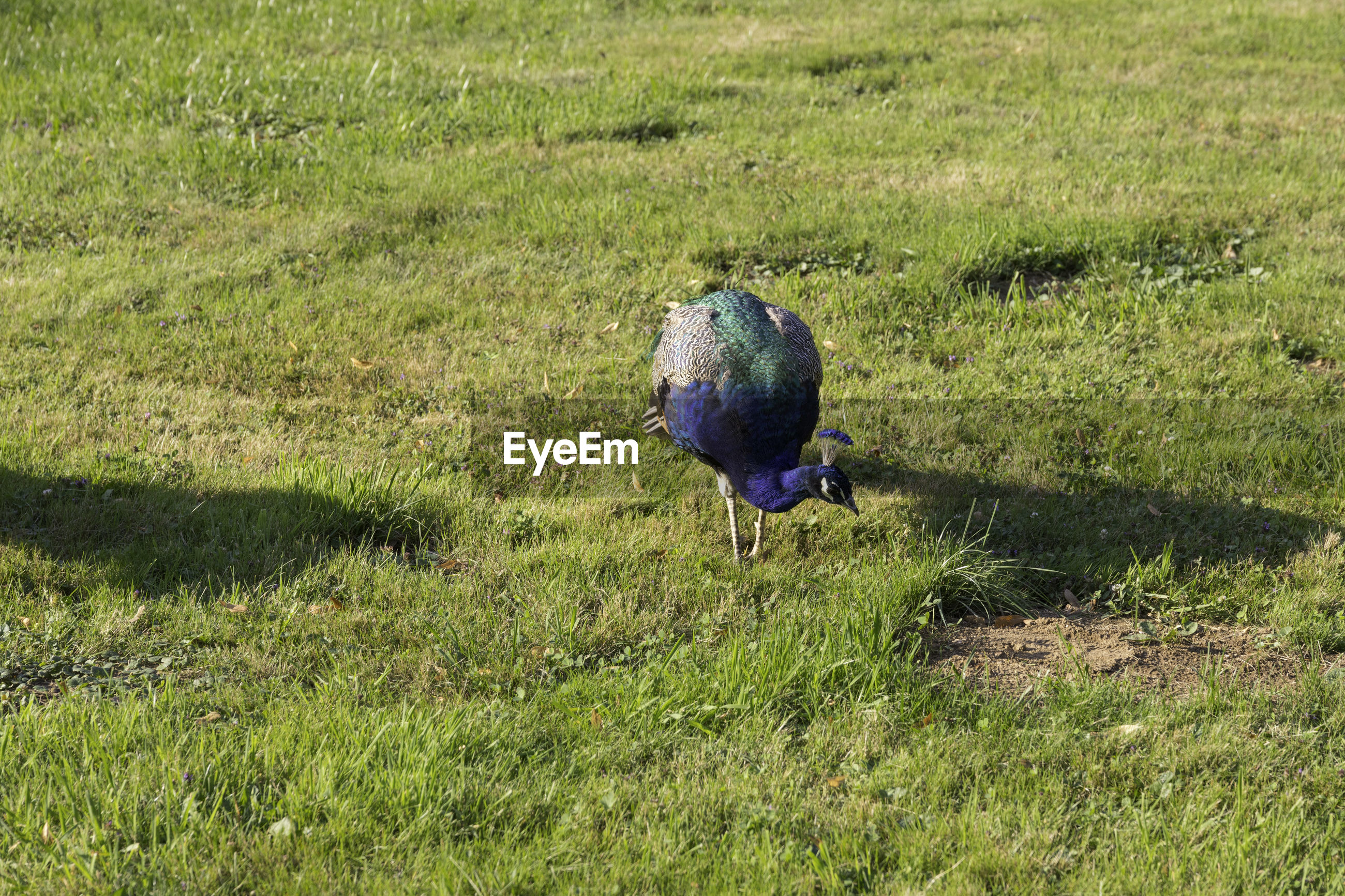 PEACOCK ON GRASS