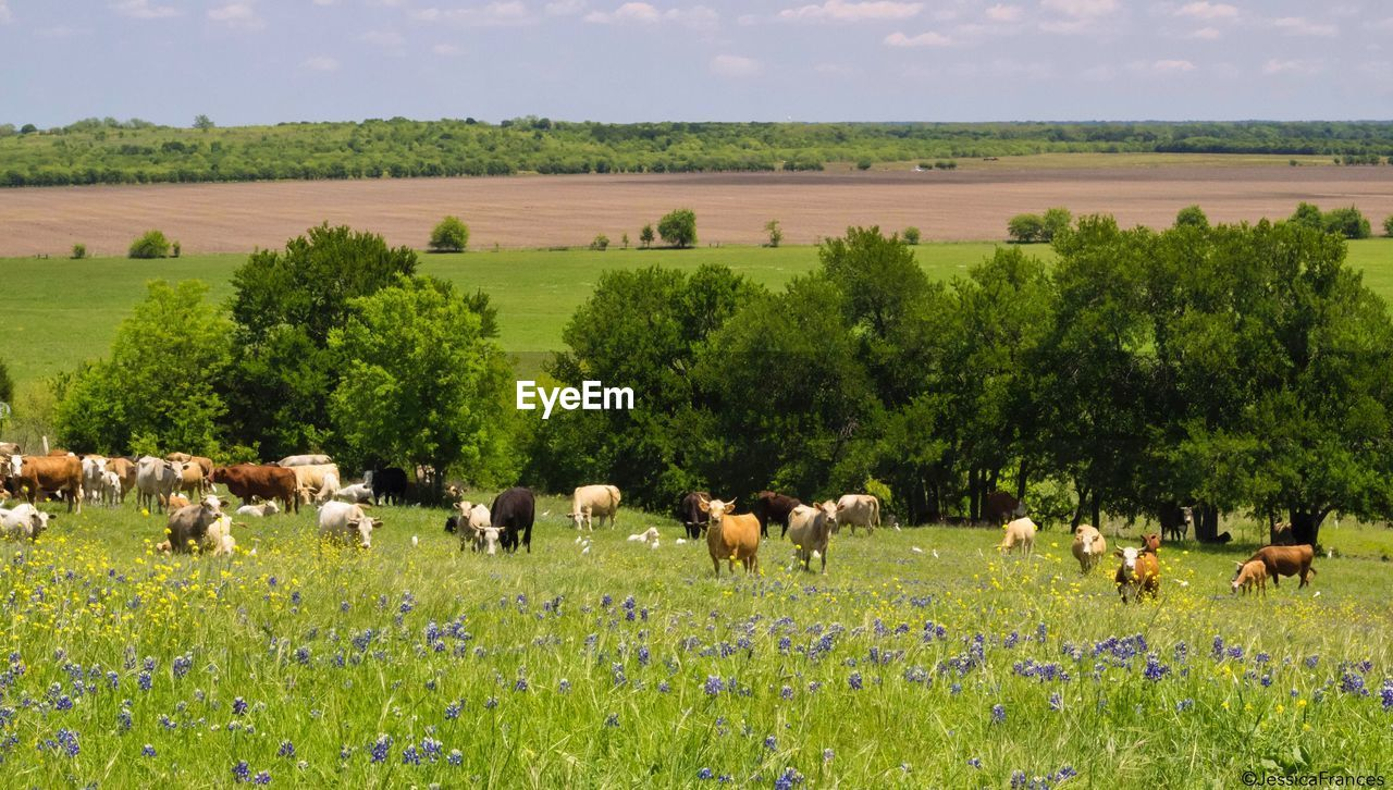 field, plant, land, landscape, group of animals, animal themes, animal, domestic animals, livestock, mammal, environment, large group of animals, agriculture, grass, domestic, tree, green color, grazing, nature, pets, herd, no people, outdoors, herbivorous
