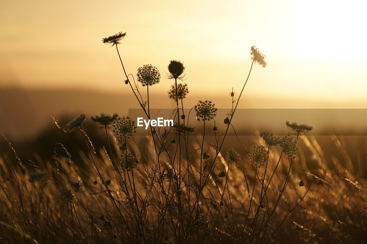 Close-Up Of Thistle On Field Against Sky During Sunset