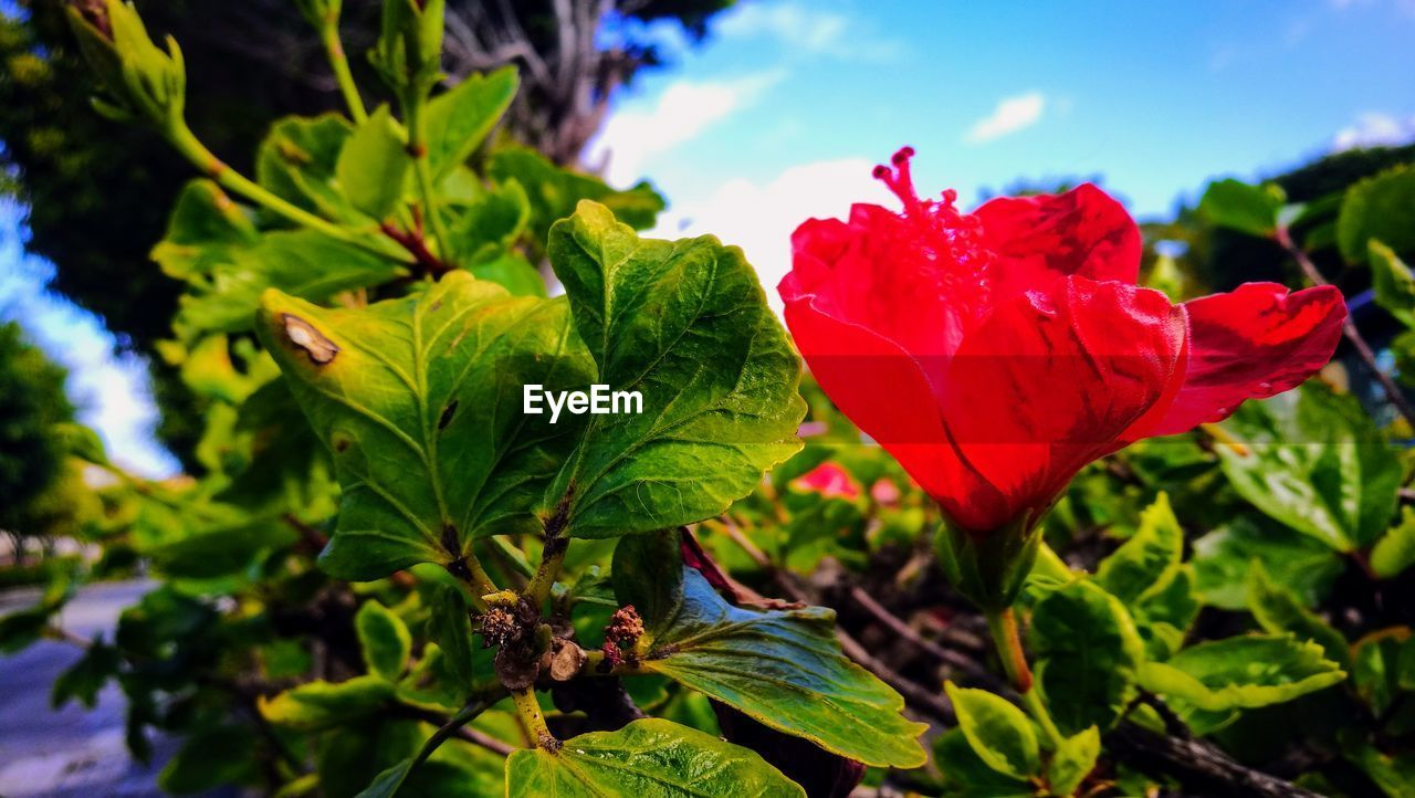 flower, nature, beauty in nature, growth, petal, leaf, plant, fragility, freshness, red, flower head, green color, outdoors, blooming, no people, day, close-up, sky