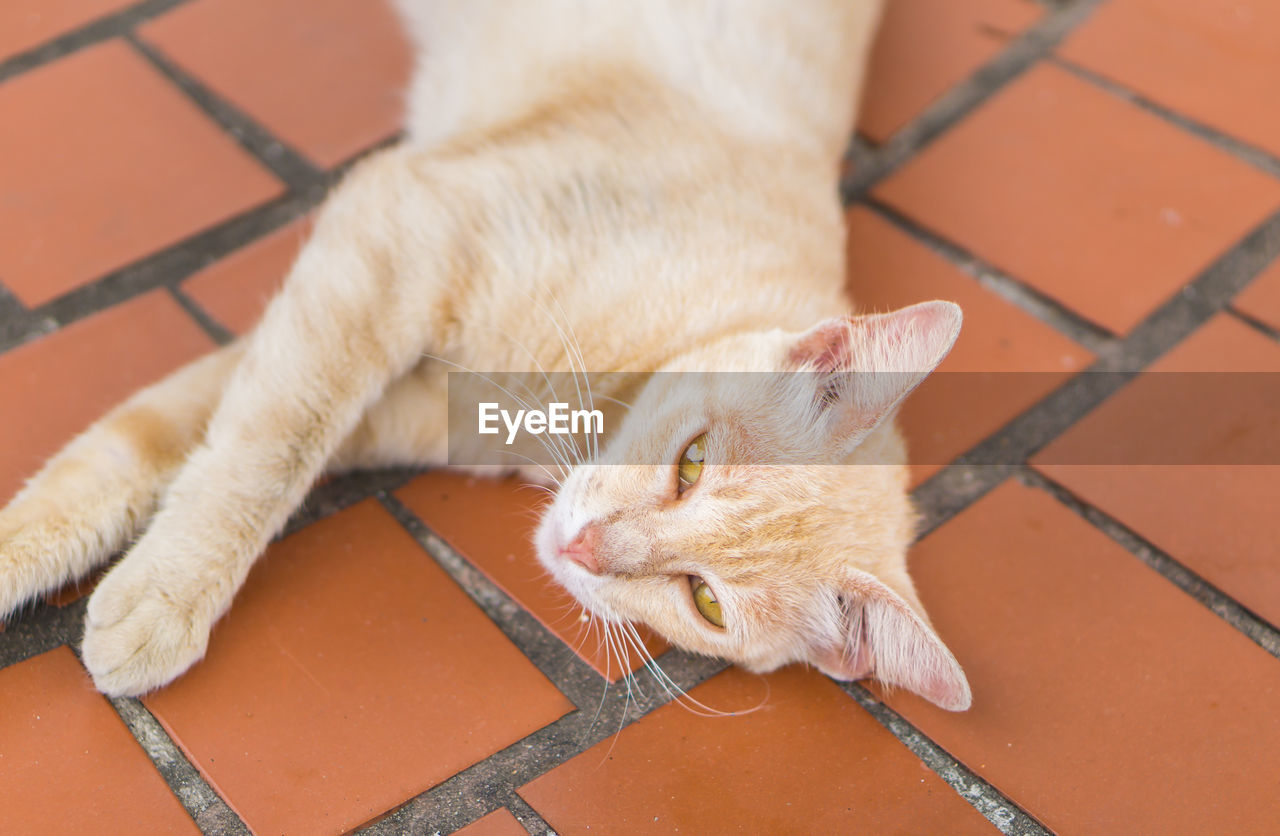 mammal, animal themes, one animal, domestic animals, pets, domestic, animal, cat, feline, domestic cat, vertebrate, relaxation, no people, whisker, high angle view, flooring, day, lying down, close-up, resting, animal head, tiled floor, ginger cat