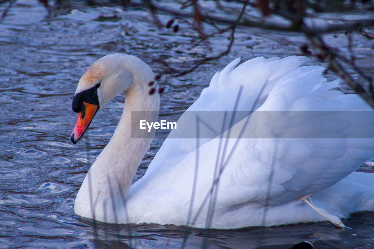 animal themes, bird, animal, animals in the wild, vertebrate, swan, animal wildlife, lake, water, water bird, one animal, swimming, white color, no people, mute swan, zoology, nature, day, beak, animal neck, floating on water, freshwater bird