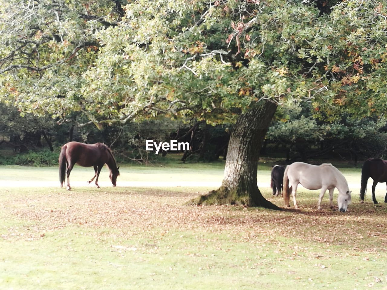 horse, animal themes, mammal, domestic animals, tree, field, day, nature, livestock, grazing, young animal, no people, outdoors, full length