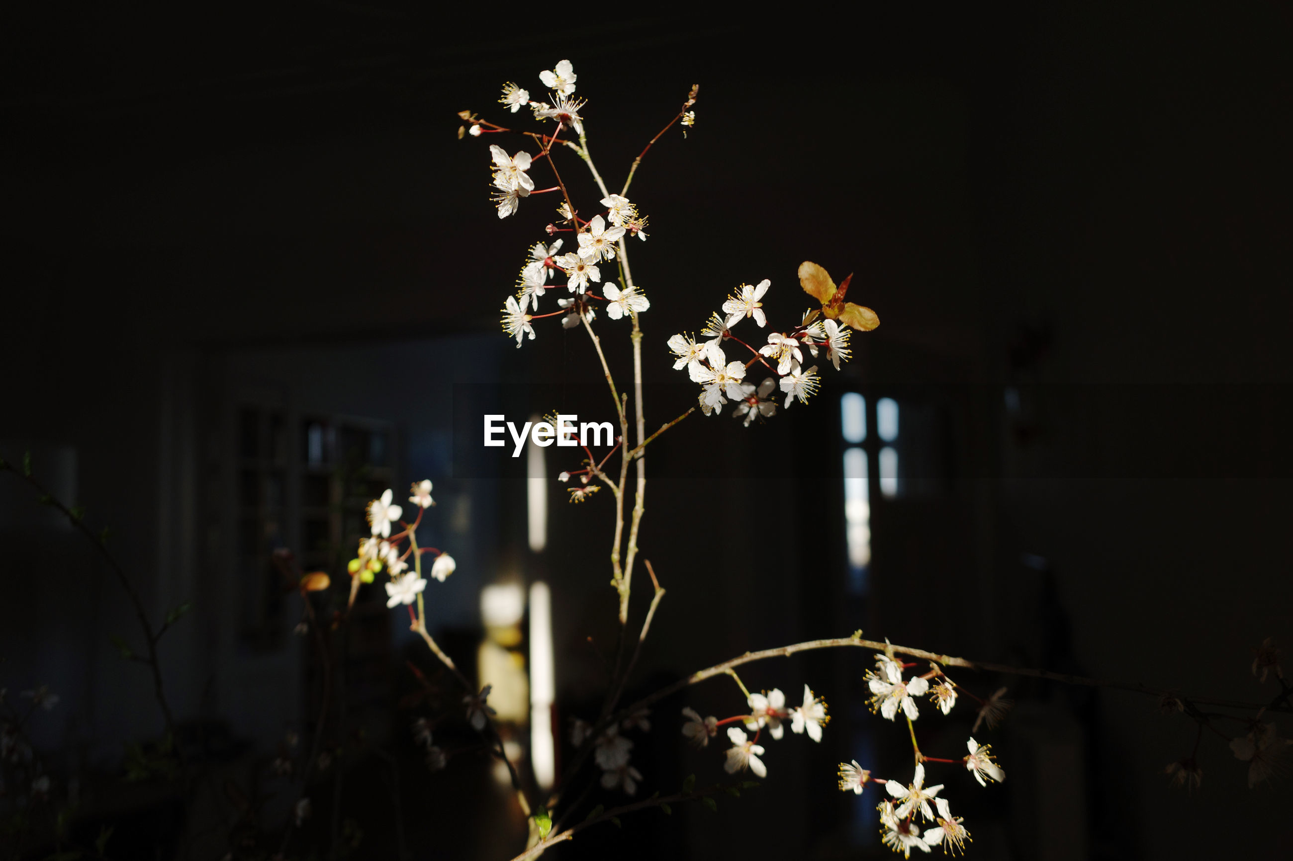 CLOSE-UP OF WHITE FLOWERING PLANTS AT NIGHT DURING RAINY SEASON