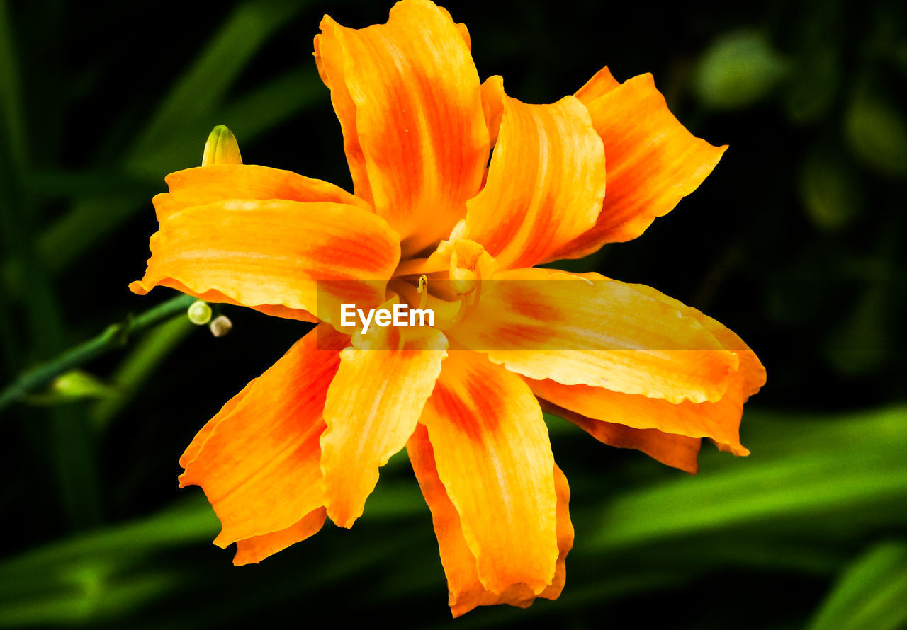 flowering plant, flower, petal, vulnerability, fragility, beauty in nature, plant, flower head, inflorescence, growth, freshness, close-up, orange color, nature, no people, focus on foreground, botany, pollen, yellow, outdoors