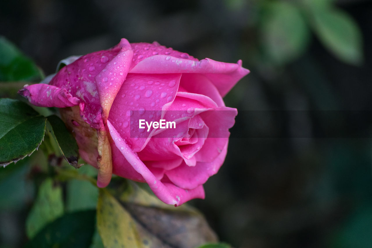 flower, petal, nature, pink color, beauty in nature, fragility, rose - flower, flower head, growth, close-up, plant, drop, no people, outdoors, day, freshness, leaf, water, blooming