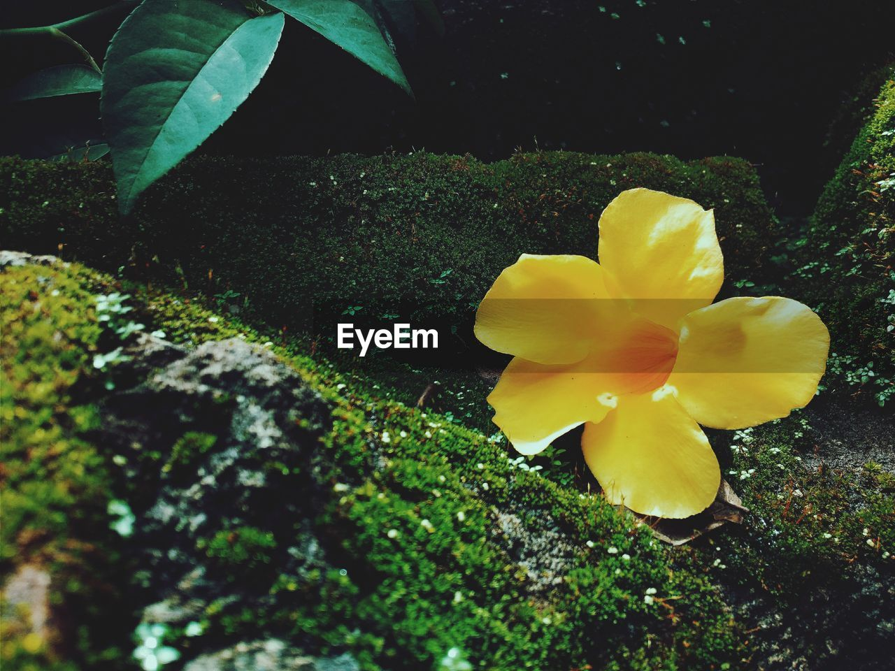 flower, petal, fragility, beauty in nature, yellow, nature, flower head, growth, freshness, plant, outdoors, no people, day, close-up, blooming, frangipani, leaf, crocus