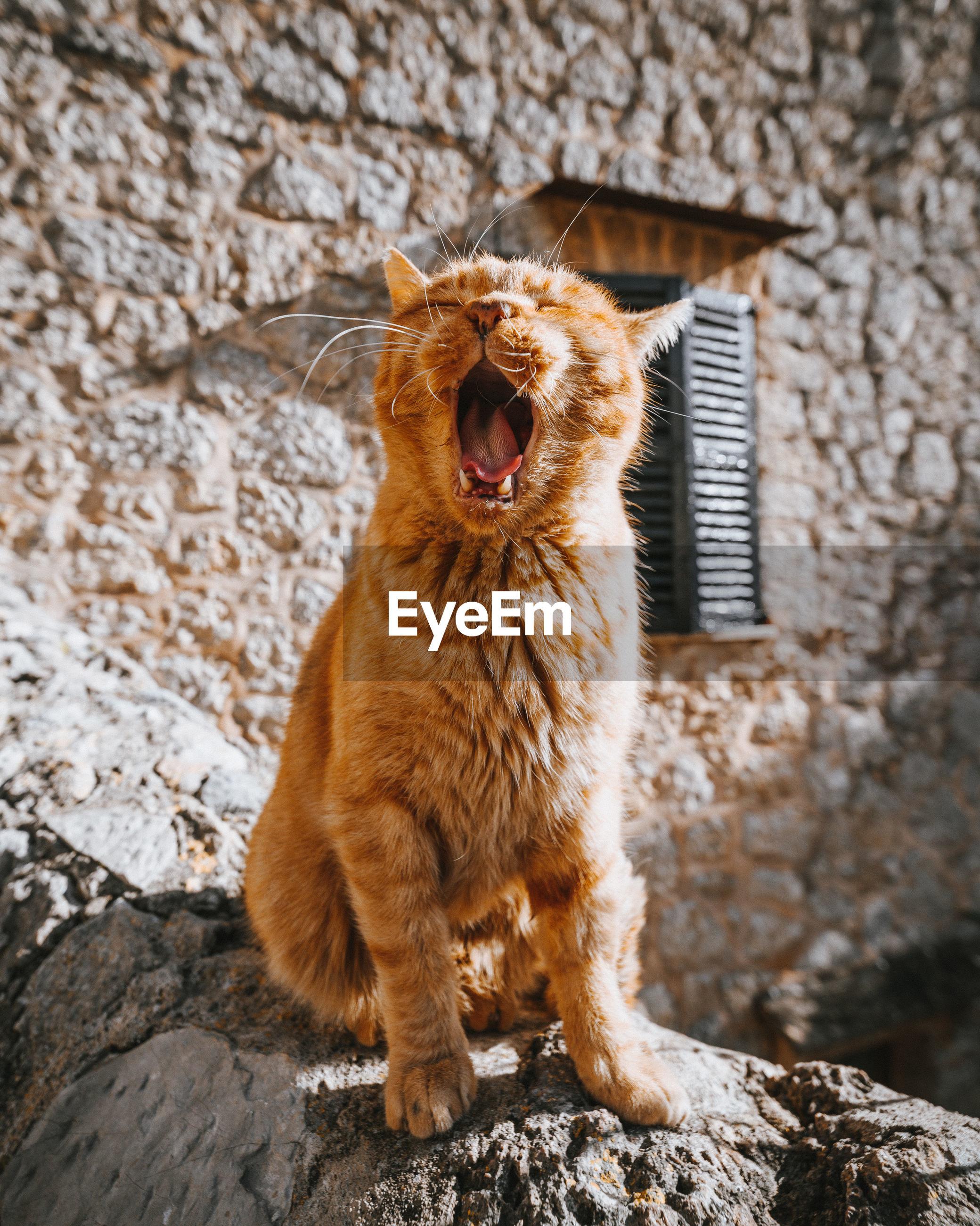 Cat yawning while sitting on rock