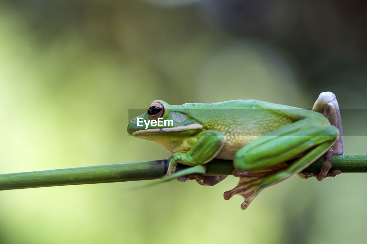 animal, animal themes, one animal, animal wildlife, focus on foreground, green color, animals in the wild, close-up, vertebrate, no people, nature, frog, day, amphibian, plant, plant part, outdoors, animal body part, leaf, selective focus, animal eye