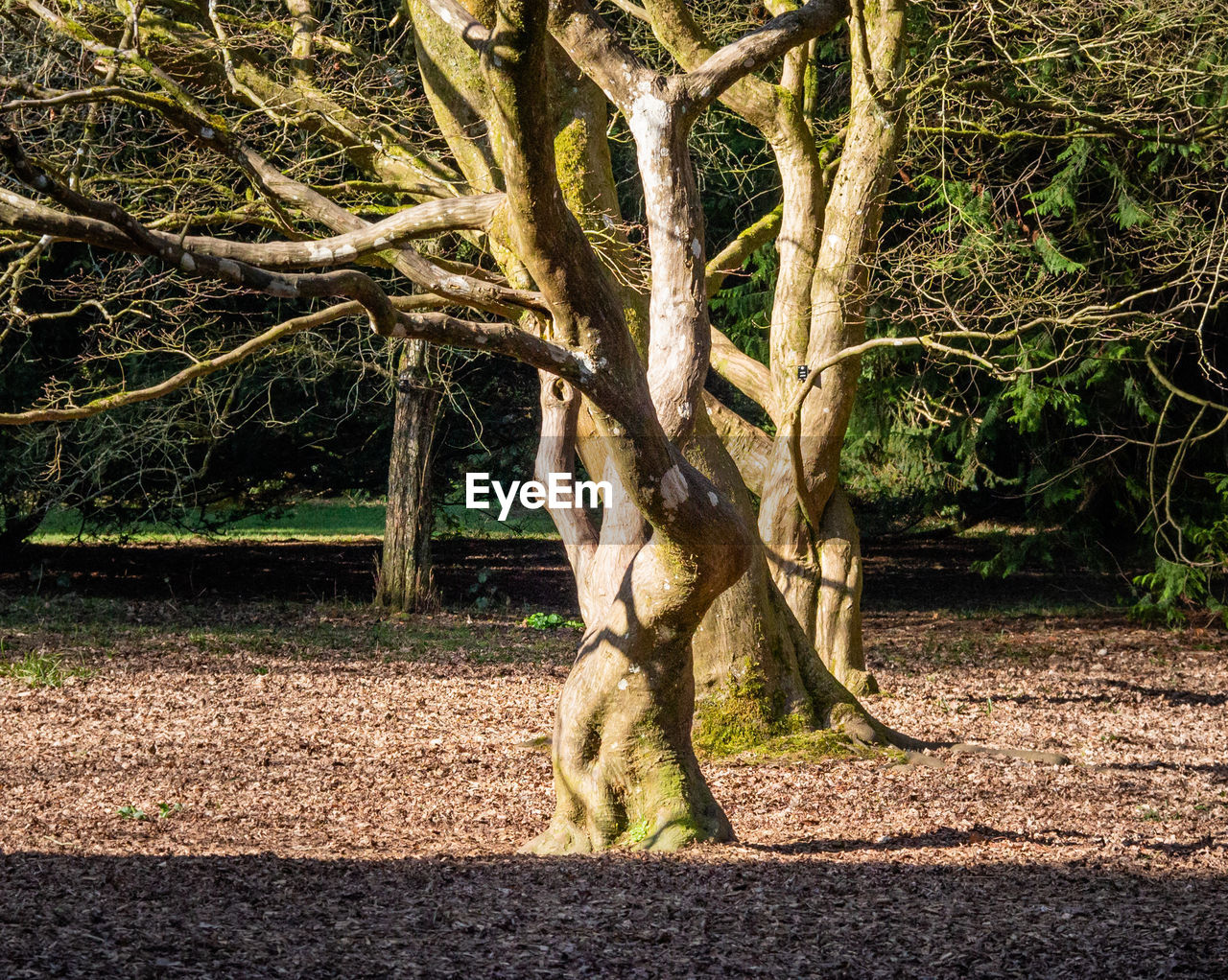 tree, plant, nature, no people, environment, trunk, branch, land, tree trunk, animal themes, mammal, day, animal, outdoors, one animal, forest, landscape, sunlight, full length, growth