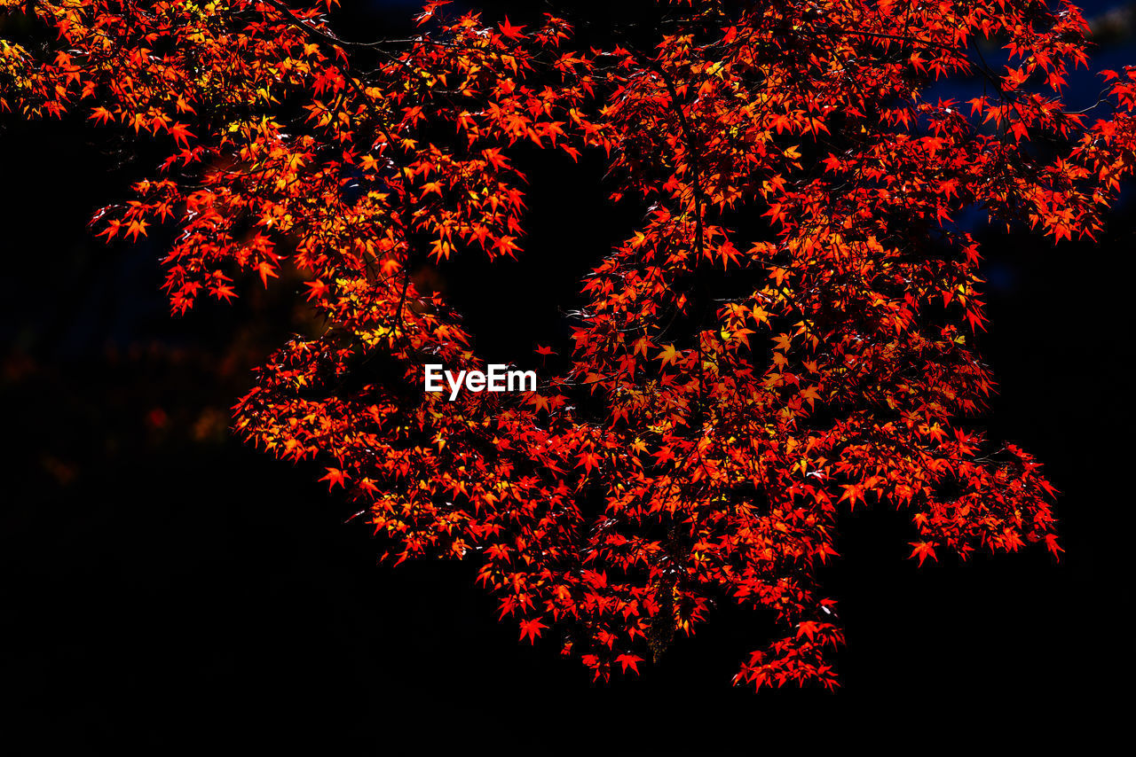 beauty in nature, plant, nature, tree, change, growth, autumn, no people, branch, low angle view, orange color, night, tranquility, outdoors, leaf, red, plant part, sky, scenics - nature, tranquil scene, leaves