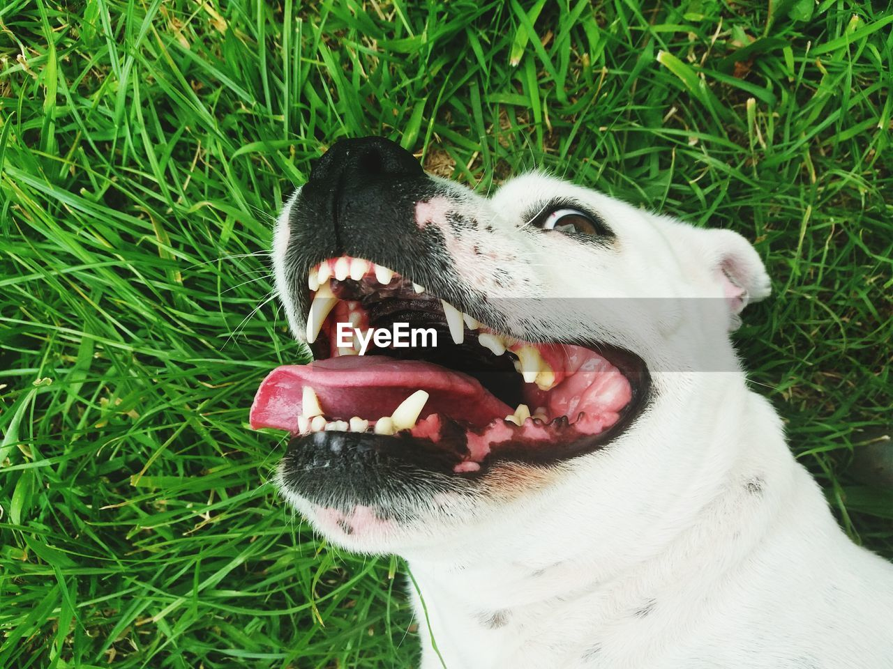 one animal, animal themes, dog, canine, animal, domestic, pets, domestic animals, grass, mammal, plant, vertebrate, mouth open, mouth, field, land, green color, nature, animal body part, close-up, no people, animal head, animal tongue, outdoors, animal teeth, animal mouth