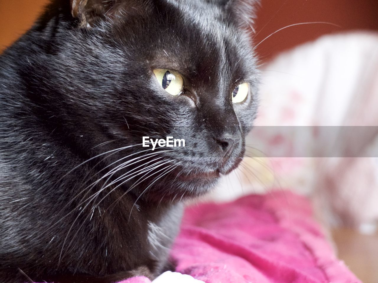 mammal, animal, one animal, animal themes, pets, domestic animals, domestic, cat, feline, domestic cat, vertebrate, close-up, looking away, whisker, looking, animal body part, focus on foreground, no people, indoors, relaxation, animal head, animal eye, yellow eyes, snout