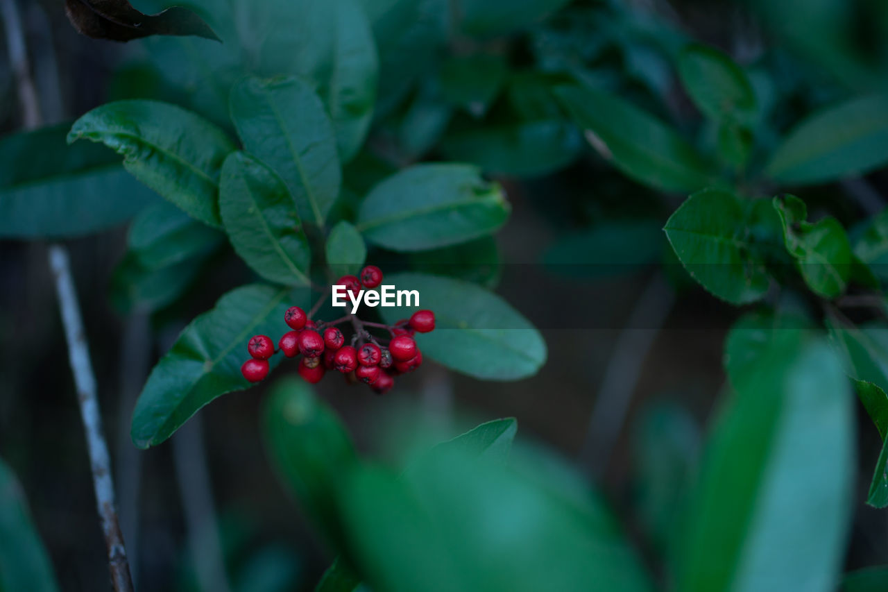plant part, leaf, green color, food and drink, growth, fruit, healthy eating, food, berry fruit, plant, freshness, red, close-up, nature, wellbeing, beauty in nature, day, selective focus, focus on foreground, no people, outdoors, ripe